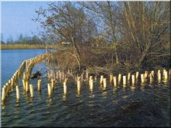 Debarked locust logs, posts, stakes