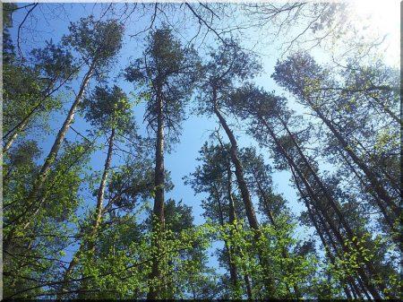 Fenyőerdő -