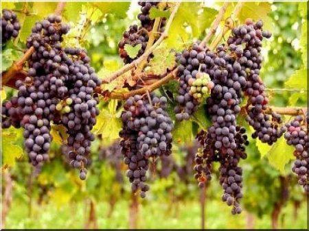 Szőlőkarók, szőlőoszlopok