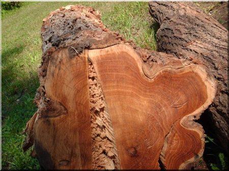 Acacia log, 18 - 21 cm