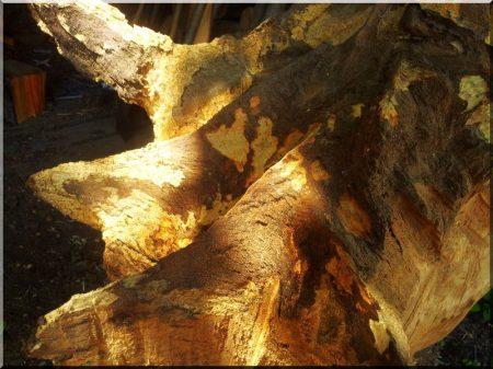 Tölgyfa gyökér