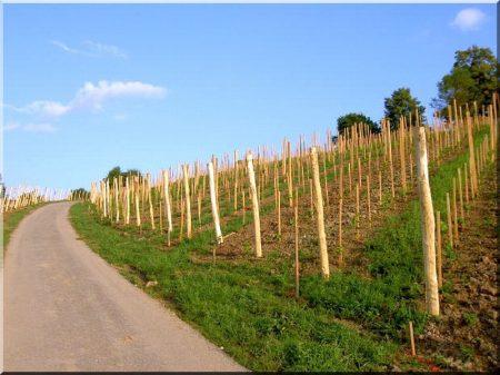 Cracked acacia column, grape vine