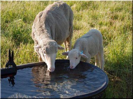 Sheep drinking-trough