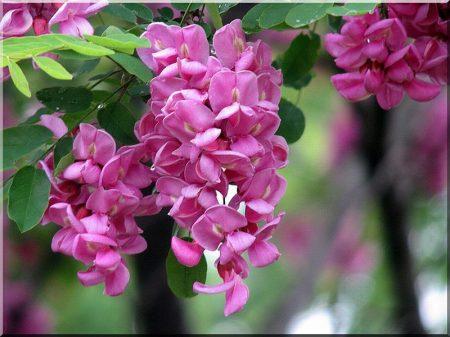 Fleur de l-acacia