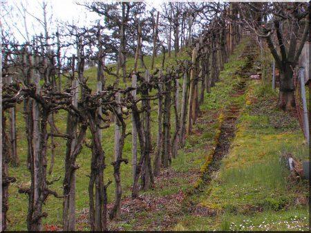 Akác szőlőkaró, 2 méteres, 5 x 5 cm -
