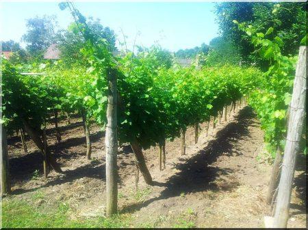 Akác szőlőoszlop, 2,7 méteres