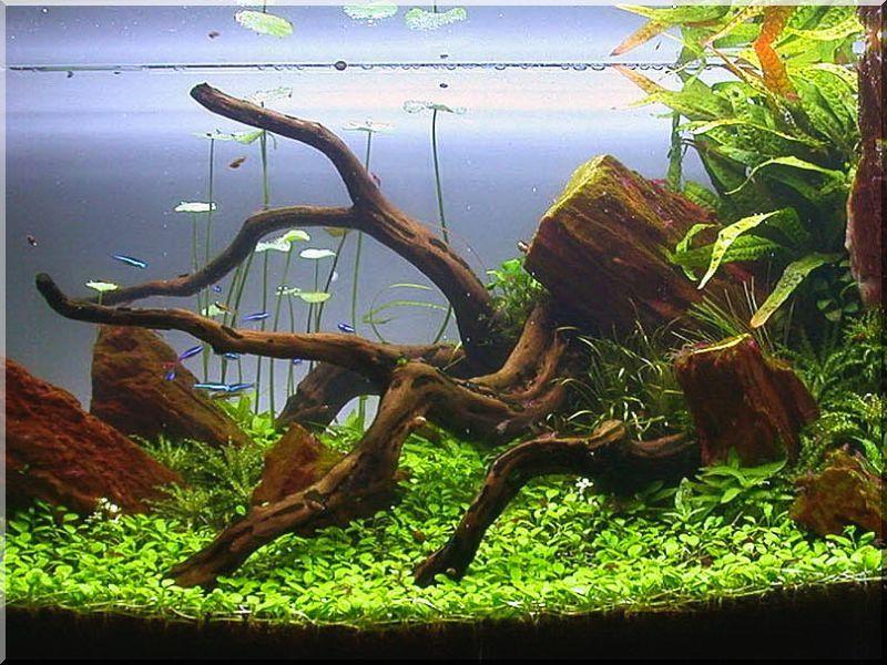 root oak