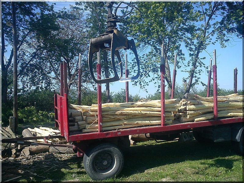 Akác karámfa, 2,5 méteres