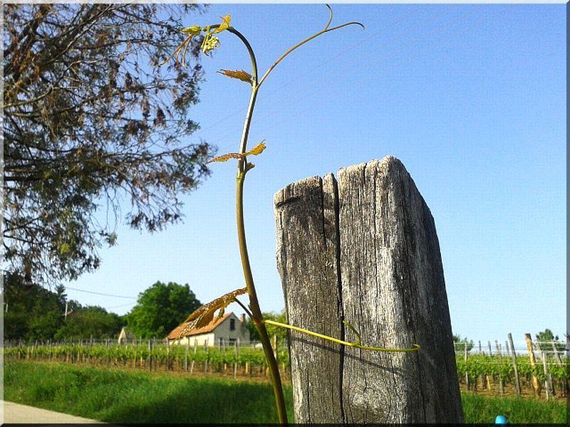 Akác szőlőkaró, 1,8 méteres, 5 x 5 cm