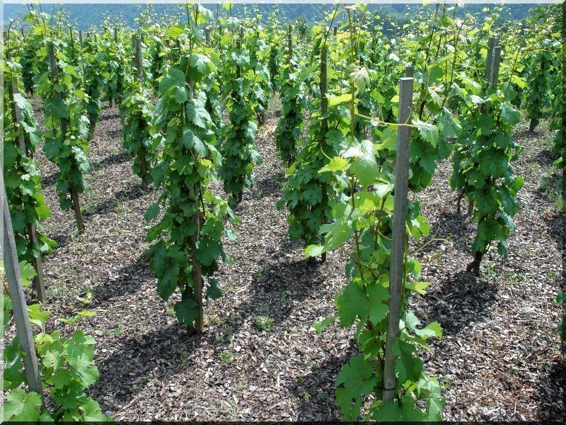 1,8 méteres akác szőlőkaró