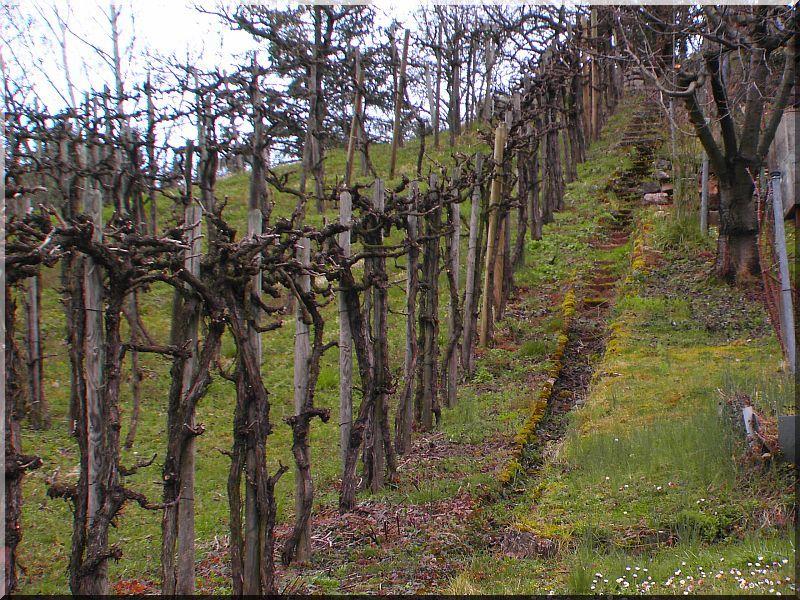 Akác szőlőkaró, 2 méteres, 5 x 5 cm