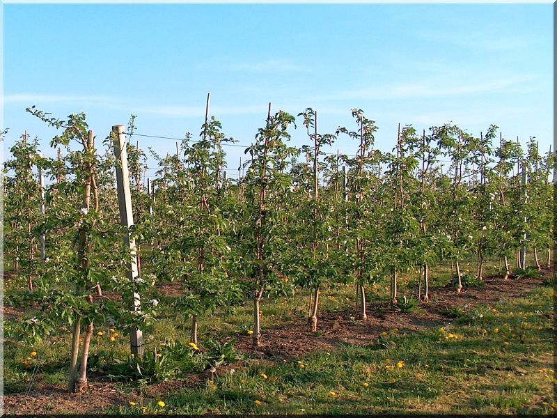 Akác szőlőkaró, 1,5 méteres, 5 x 5 cm-es, háromszög alakú